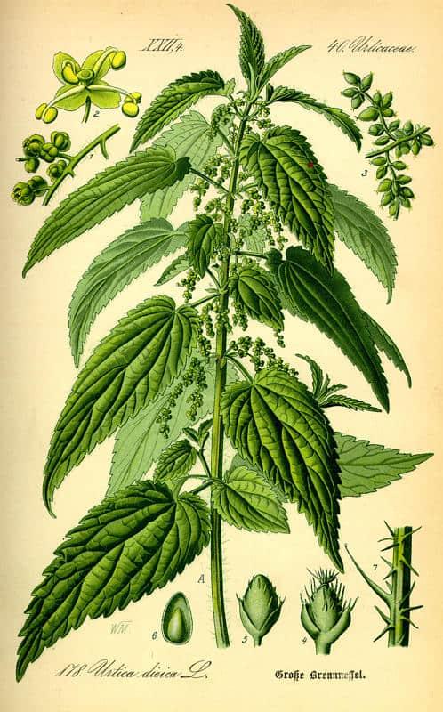 Kopriva žara biljka