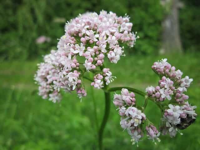 Valerijana cvijet