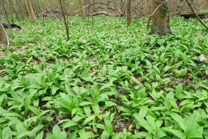 Allium ursinum 2