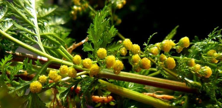 Slatki pelin biljka