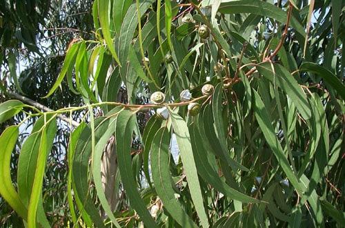 Eukaliptus biljka