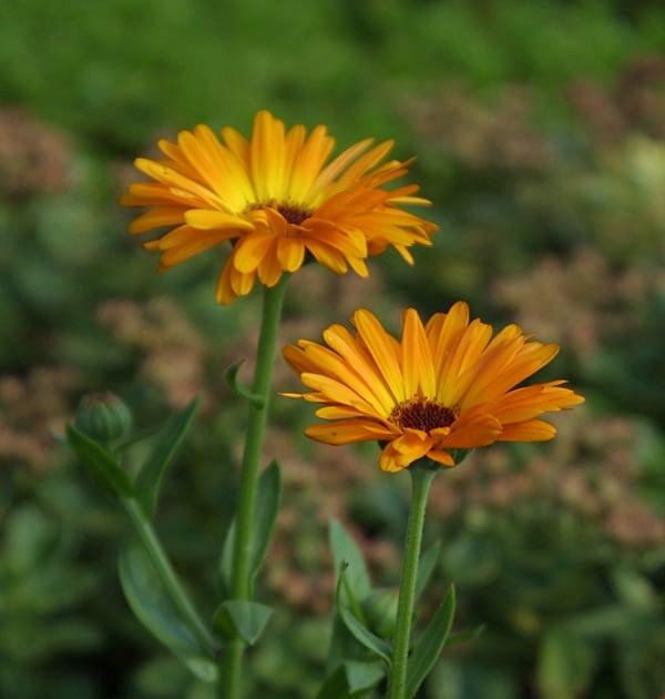 Neven cvijet biljka