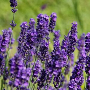 lavender hidcote hedge plants p34 4320 zoom