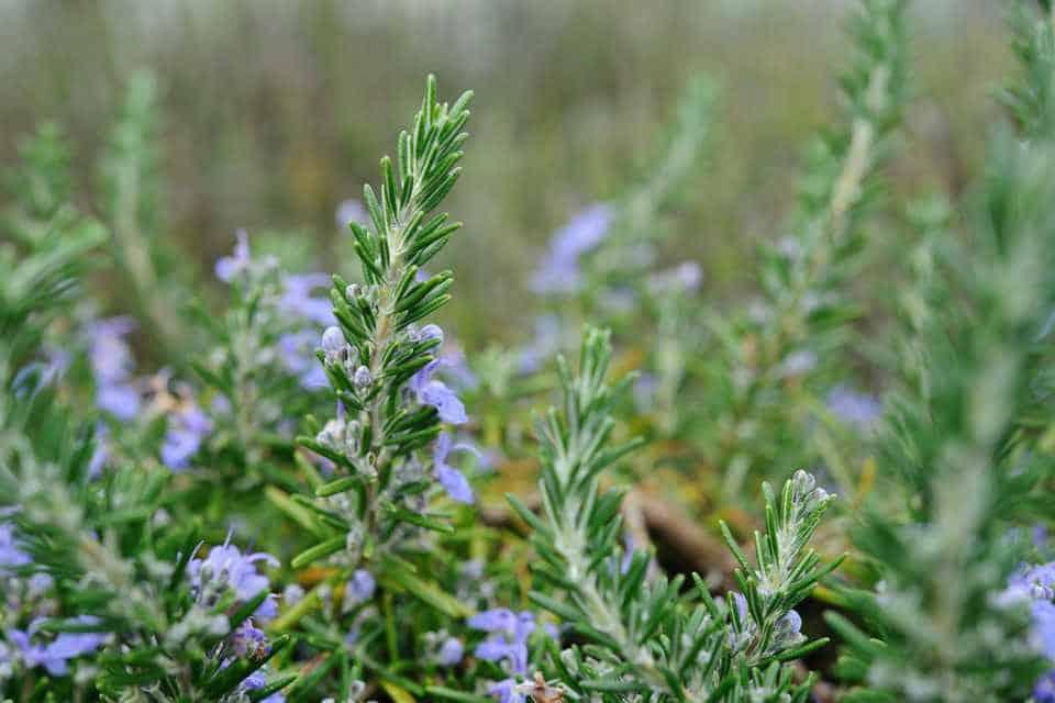 Ruzmarin biljka