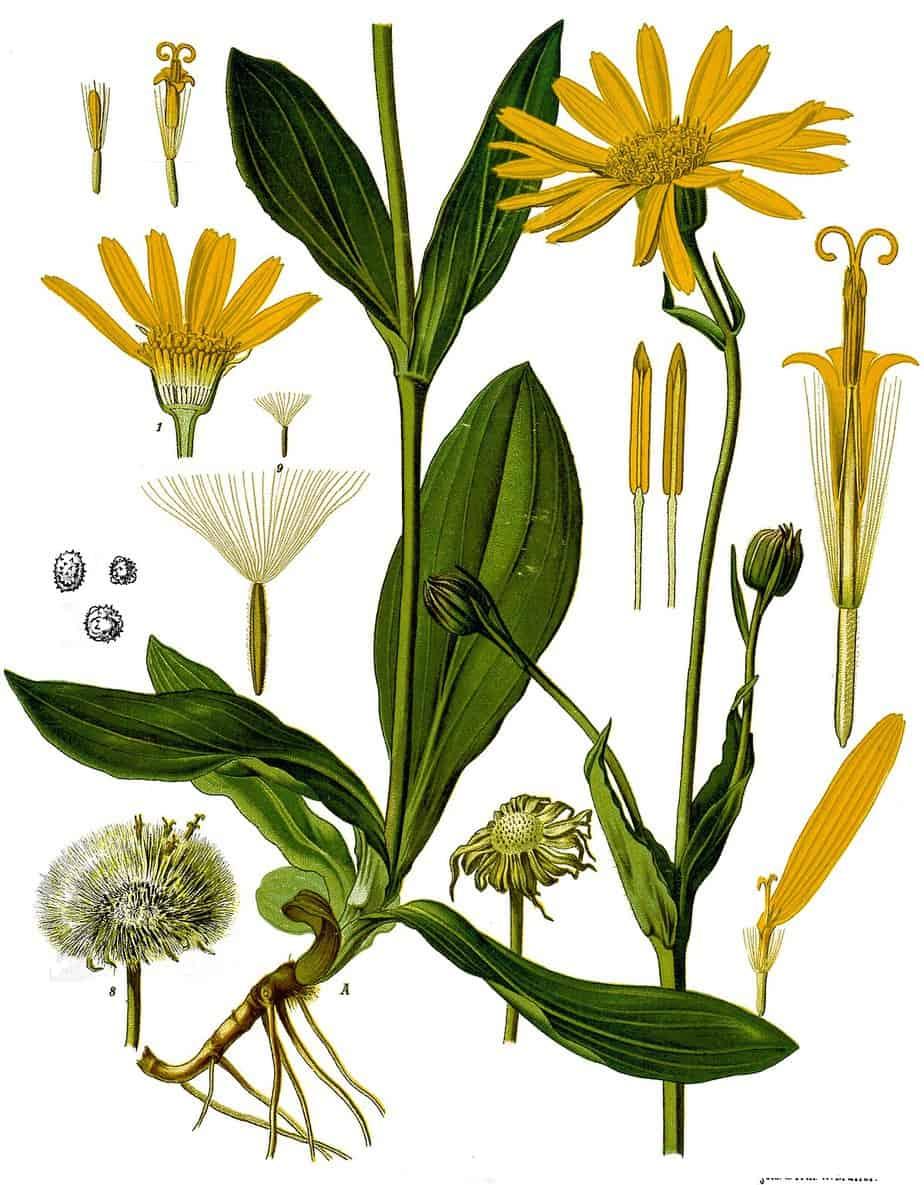 Arnica biljka