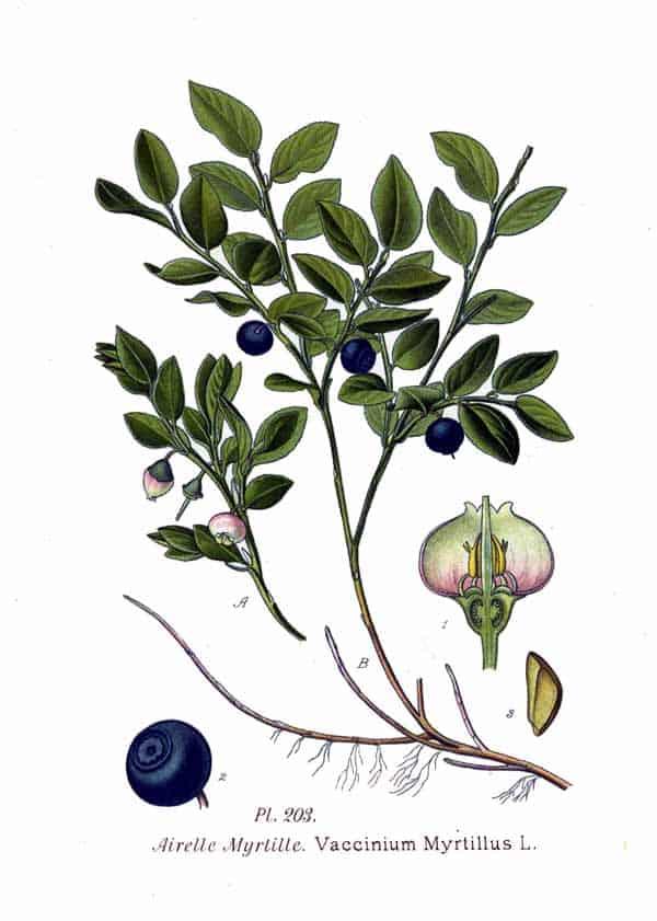 Borovnica biljka