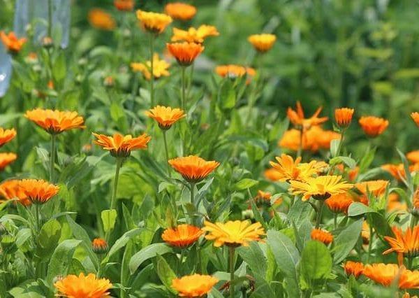 Cvijet nevena za tinkturu
